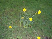 Daffodils at Kennaway House grounds, Sidmouth