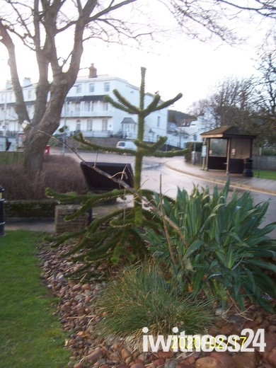 Sidmouth Triangle's monkey puzzle tree