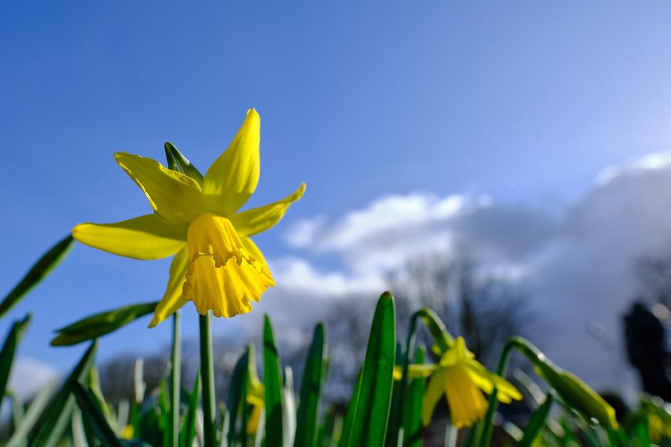 (Donkere) wolken, zon, blauwe lucht en een narcis in bloei. Van alles wat vandaag.