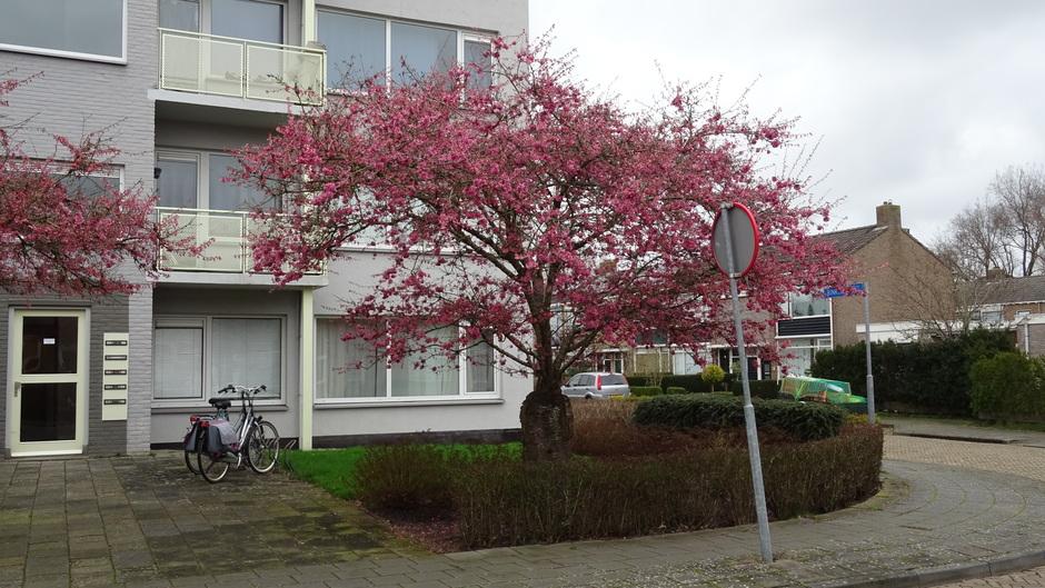 Grijs en waterkoud vandaag met de Japanse prunus in bloei