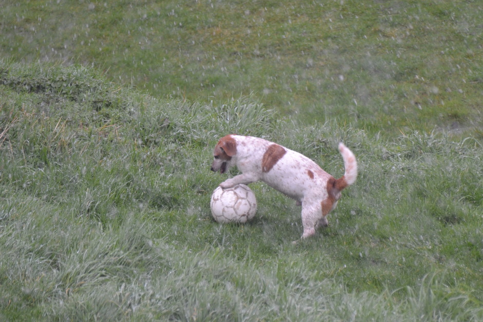 hond aan de bal