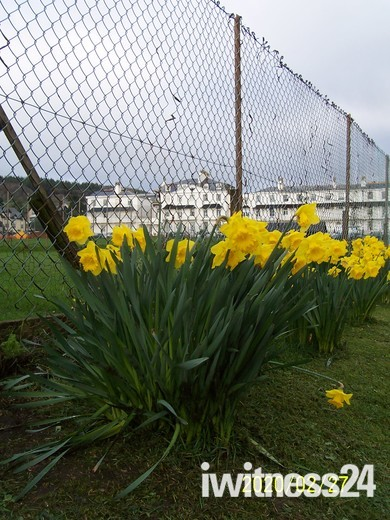Sidmouth's daffodils in bloom, by the Cricket Club next to Station Road