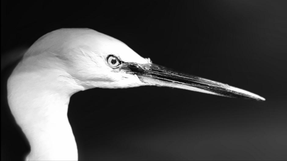 Zilverreiger close-up