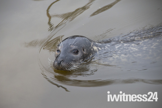 Seal in the Pike and Eel Marina