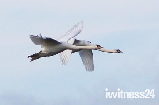 Swans over the marsh