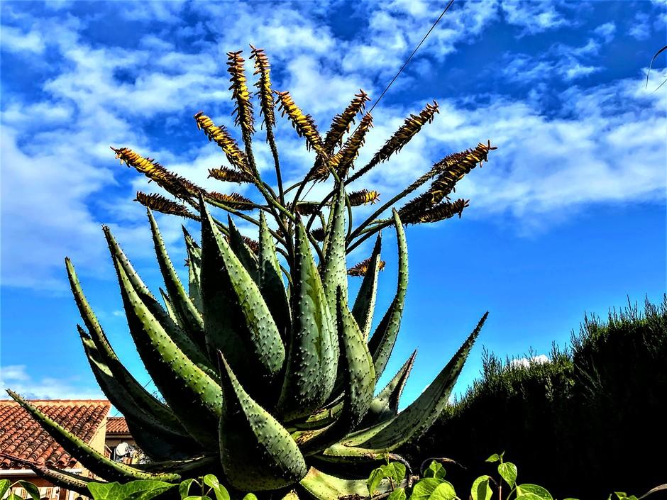 Aloe Vera in volle bloei