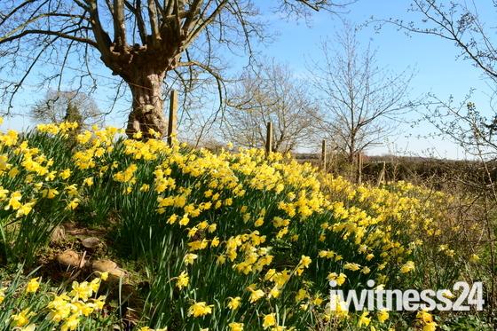 Thriplow Daffodils 2020