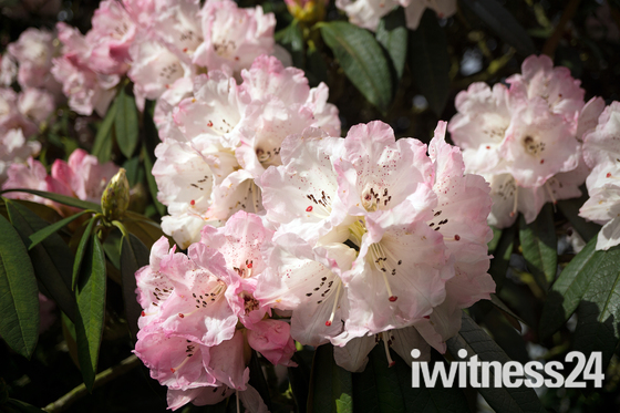 Rhododendrons at Hyde Hall Essex