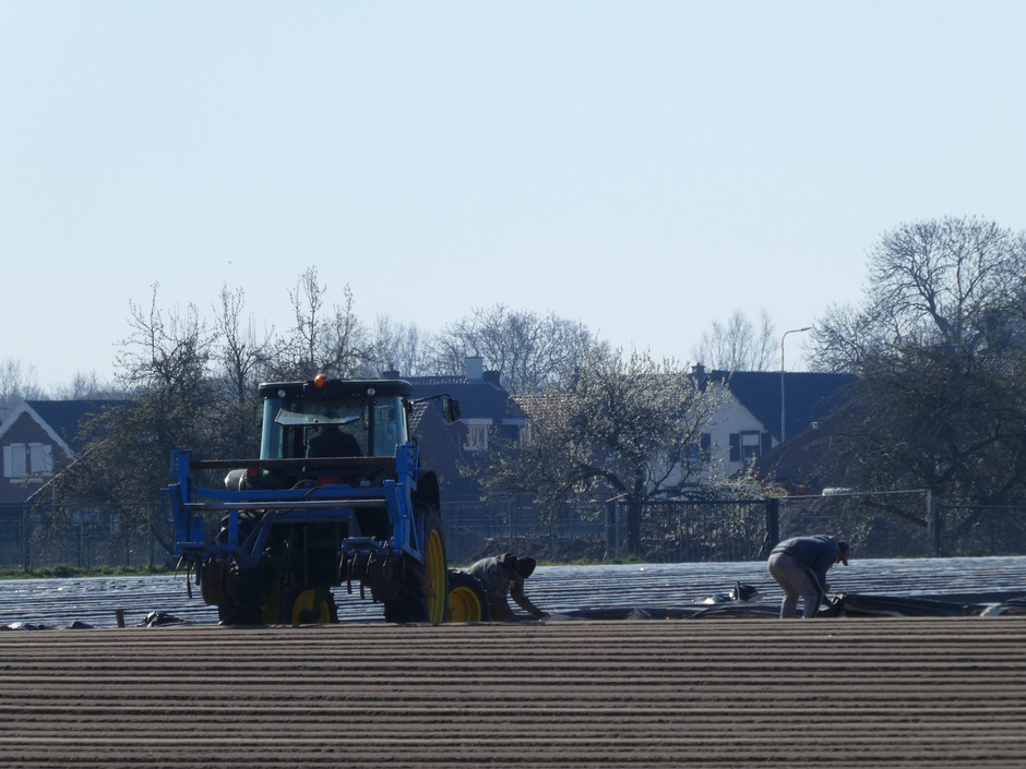 Werken op de aspergevelden.
