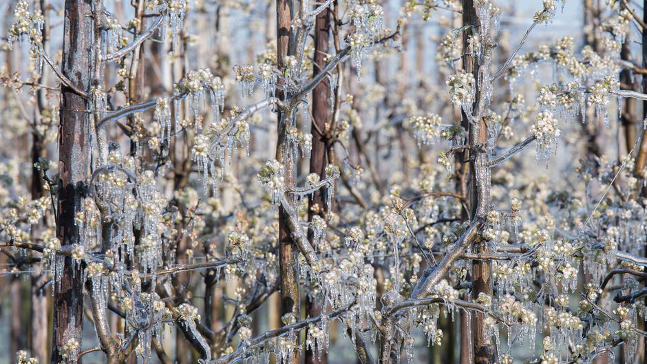 Bevroren perenboomgaard