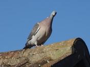 Pigeon enjoying the Sunshine