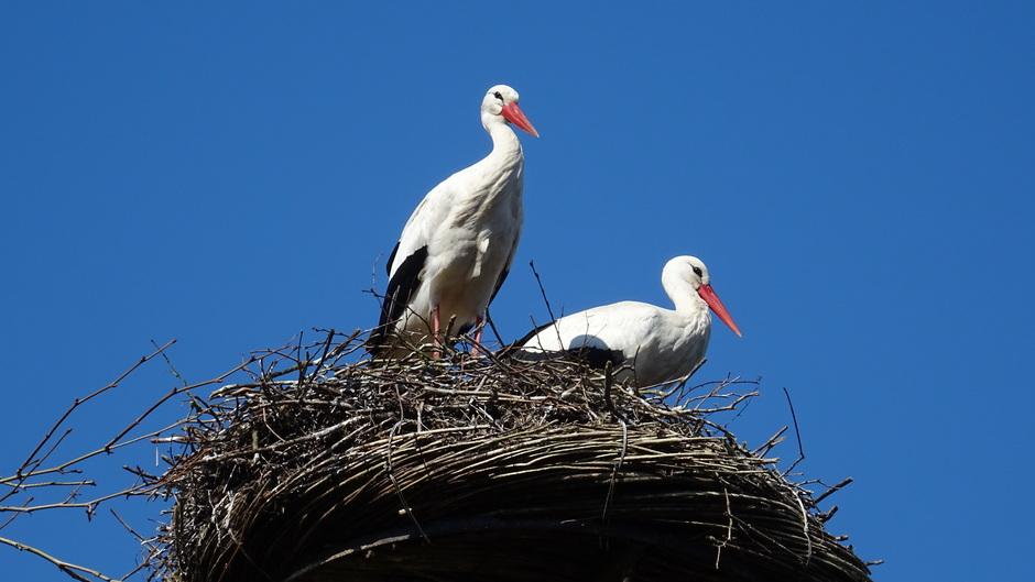 Vandaag weer een strakblauwe lucht met ooievaarspaar op het nest