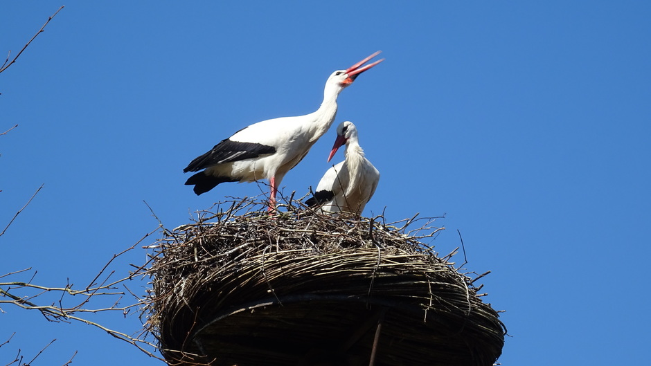 Het is lente ! Ooievaarspaar op het nest
