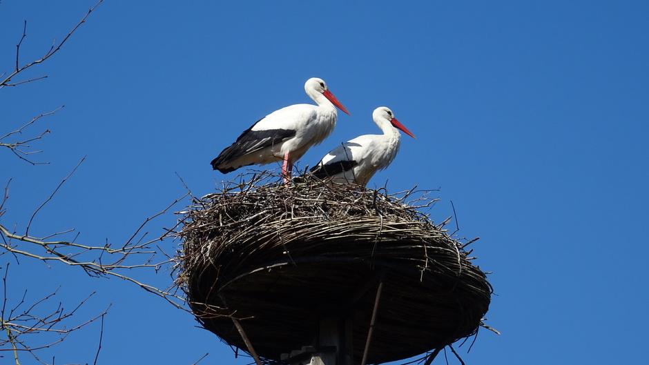 Een strakblauwe lucht met ooievaarspaar op het nest