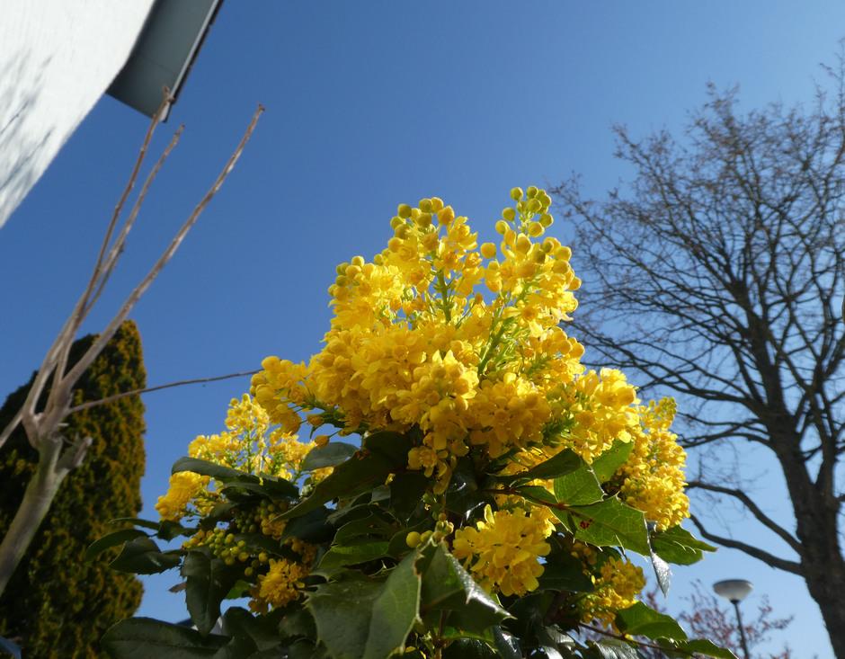 Mahonia bloeit uitbundig.