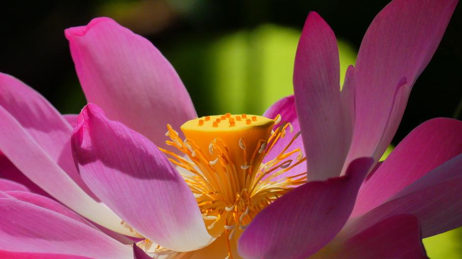 Indische Lotus