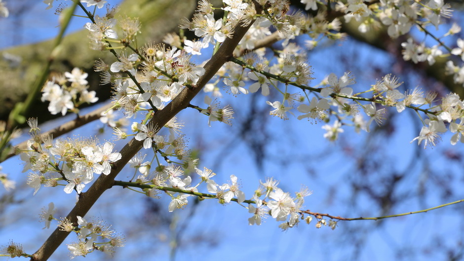 Witte bloesem tegen blauwe lucht, mooie witte prunus