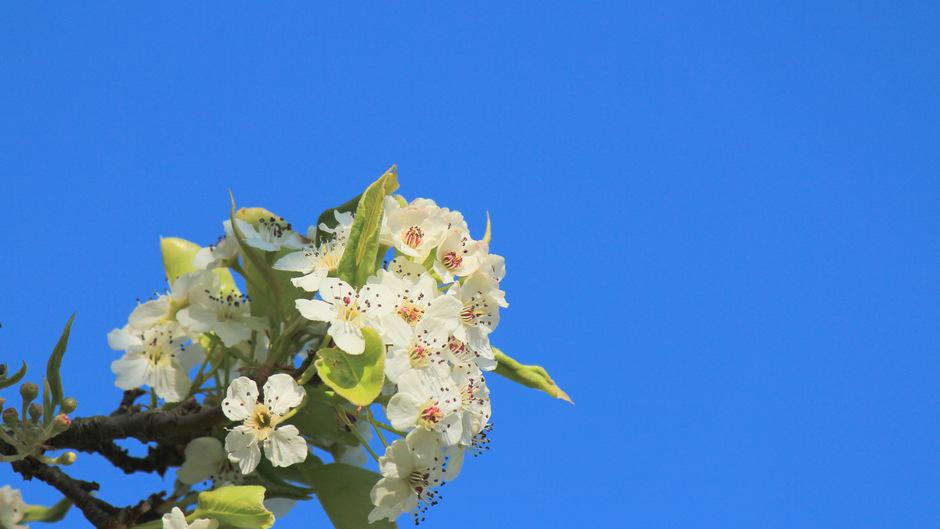 De bloesems steken prachtig af met een kraakheldere blauwe hemel