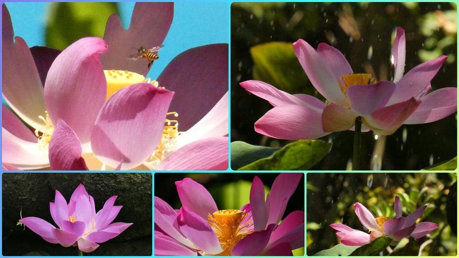 Lotusbloem; Deze collage draag ik op aan alle zieken in de wereld. Geef het. Door!!