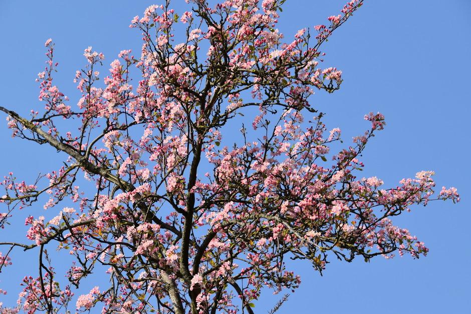 Rose bloesemboom