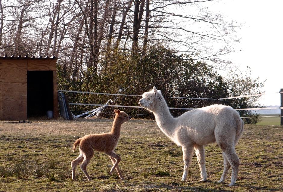 27-03-2020 Alpaca moeder met kind