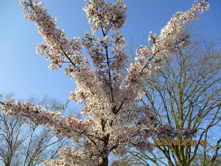 De Prachtigste bloesem bomen