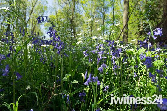 Spring ,Assington woods