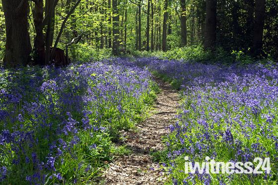 Spring Assington woods near Sudbury
