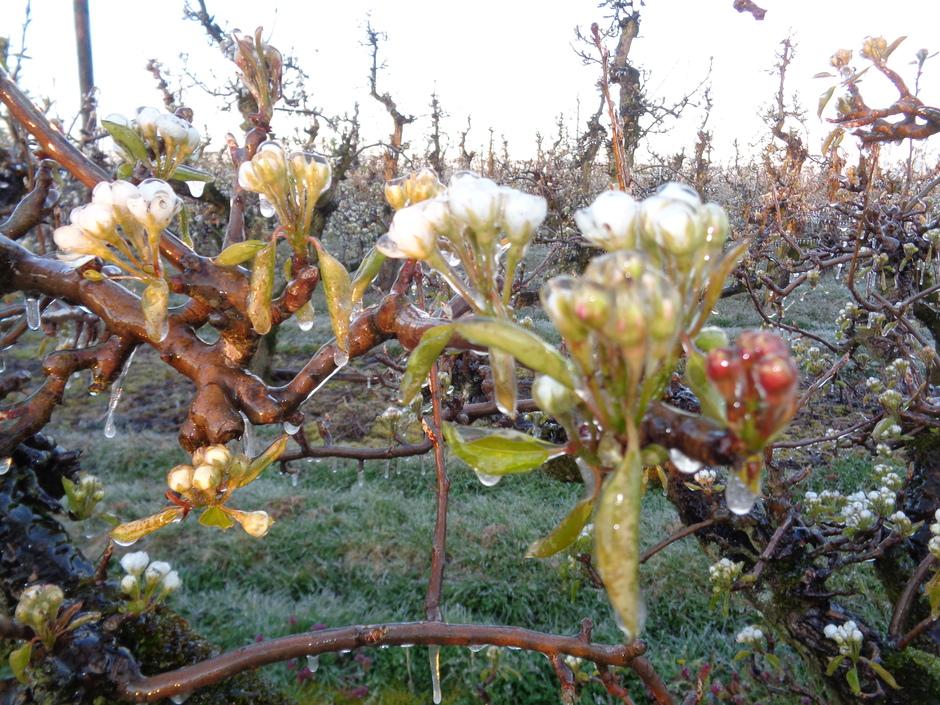 ijsbloemen aan de perenboom