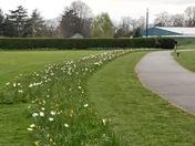 Spring daffodils in Barking Park