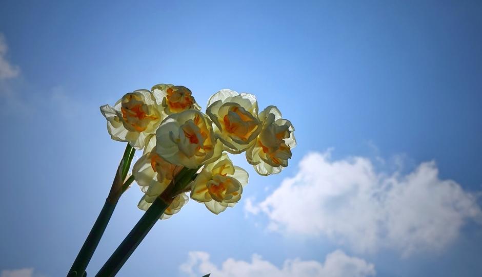 Deze geurende Narcis met zon en een blauwe lucht met wat wolken vanmorgen
