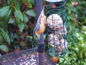 Nuthatch on fat balls.