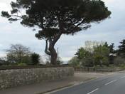 Tree at Trefusis Terrace