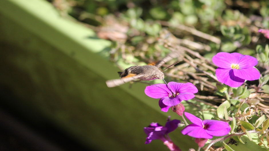 Kolibrie vlinder op terras / genieten van het zonnetje