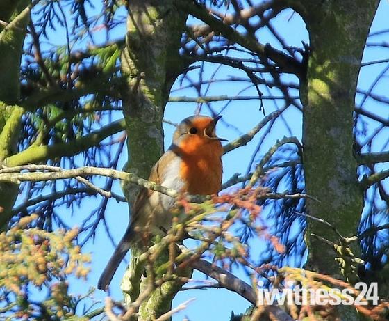 Lovely Robin singing I the sun.