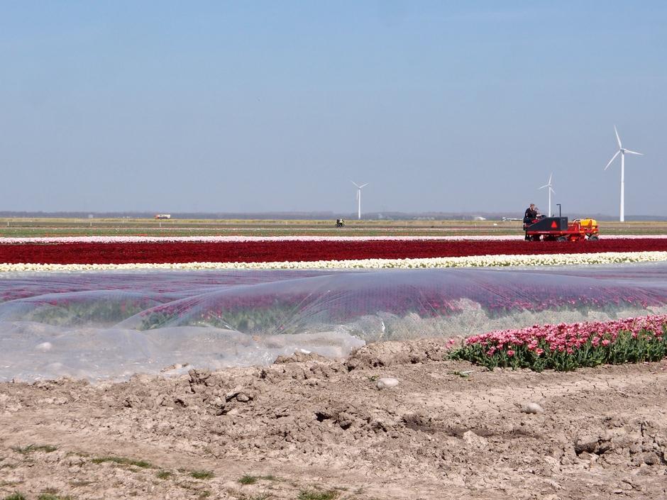 09-04-2020 De tulpen worden gekopt