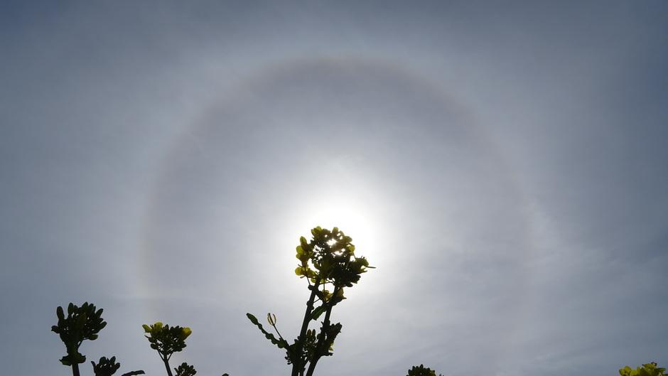 Een halo vanochtend boven het koolzaad
