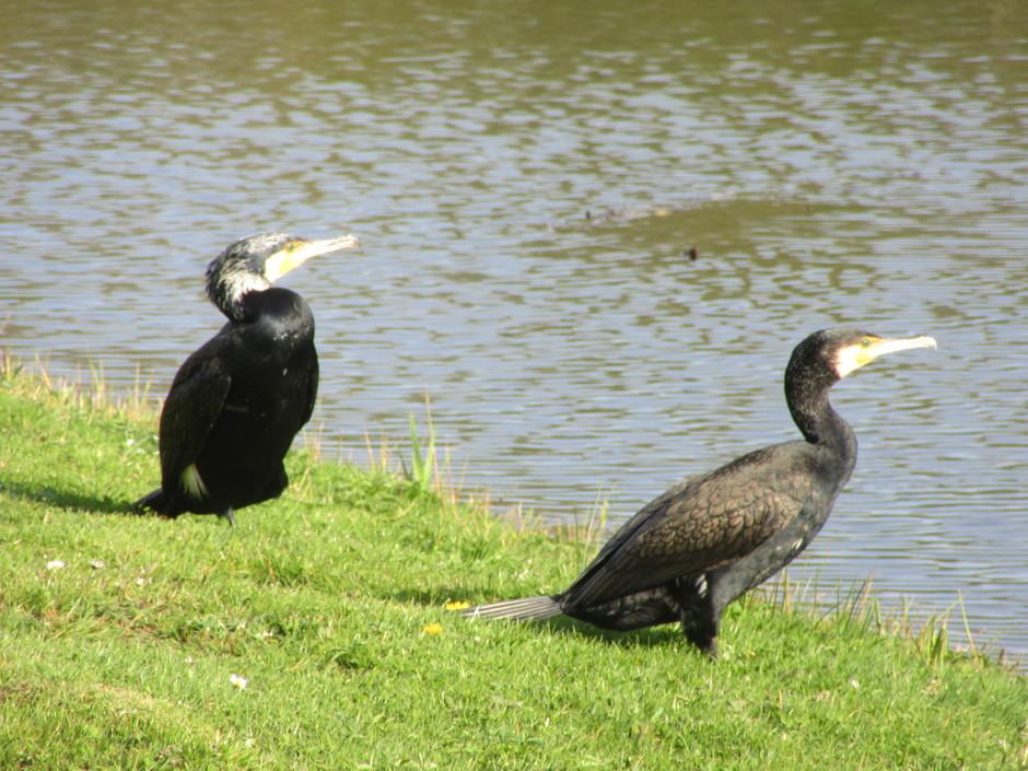Twee aalscholvers in park Poldergroen in Emmeloord