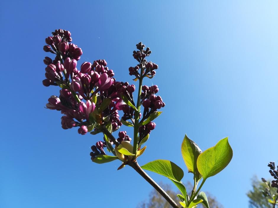 Seringen bijna in bloei / bijna strakblauwe lucht