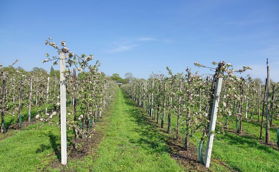 Appelbloesemvelden zon en lichte sluierbewolking