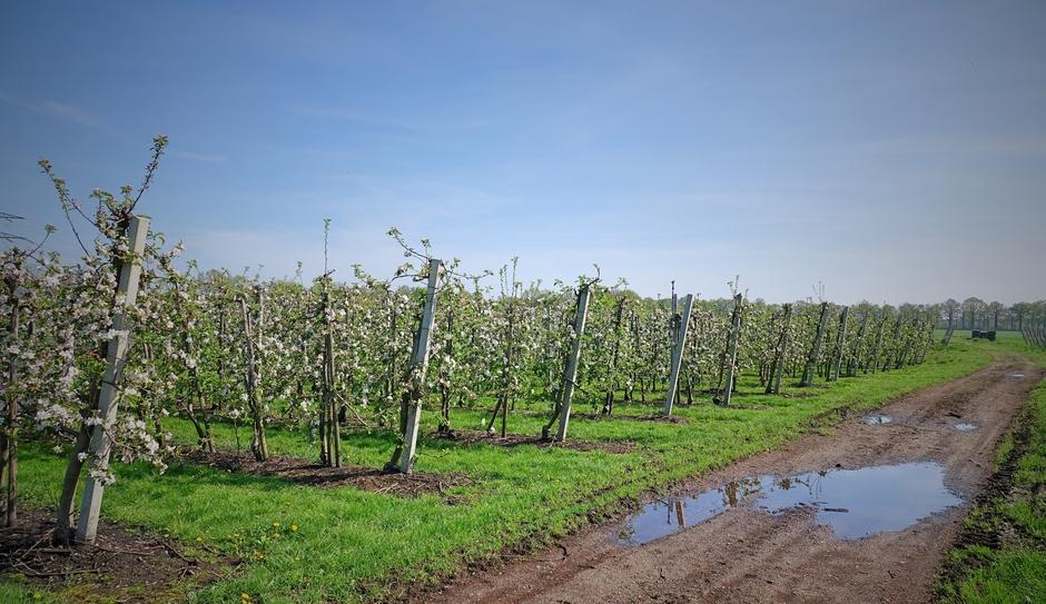 Appelbloesem velden.Waterplas van beregenen i.vm. nachtvorst deze week