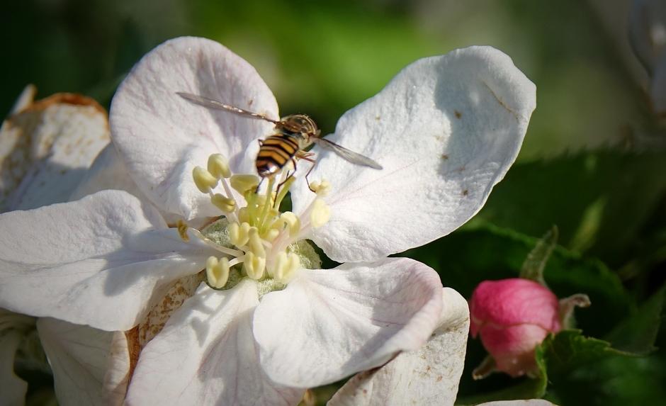 Insecten af en aan op de Appelbloesems