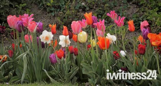 Mundesley tulips