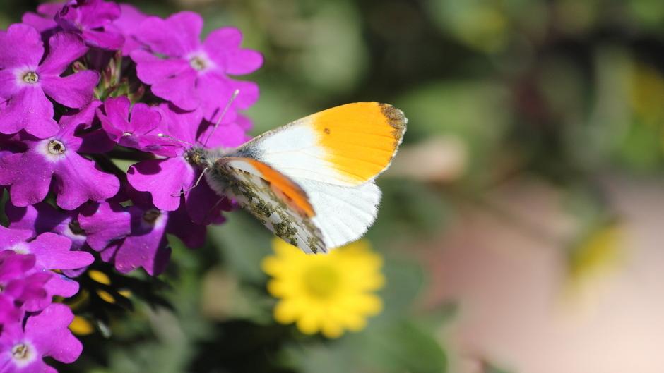 Zonnig lenteweer / Oranjetipje fladdert af en aan op zoek naar nectar