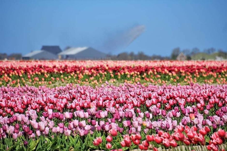 Tuliptime