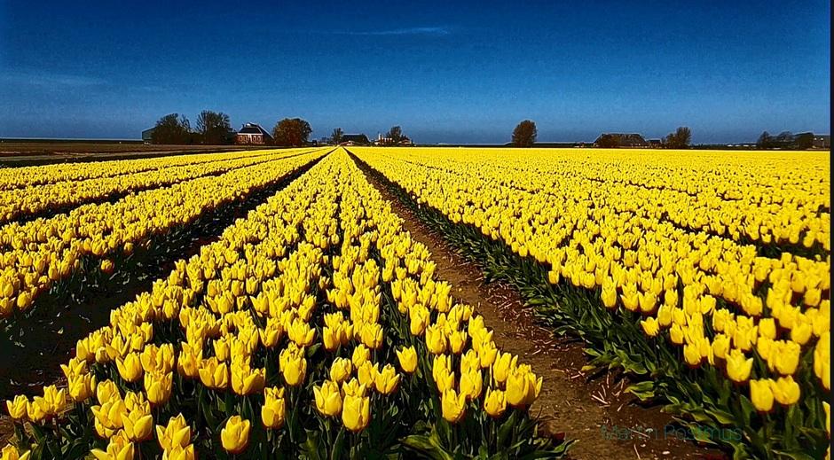 Tulpen veld in Groningen