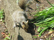 A squirrel captured in the Manor Gardens from the fence