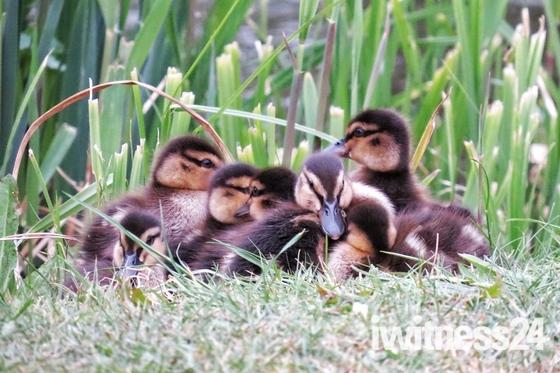 Baby ducks at Langtons Gardens, Hornchurch