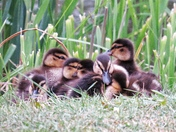Baby ducks at Langtons Gardens, Hornchurch