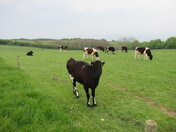 Cattle in field, by the footpath